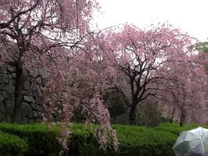 花見ツアー・桜①