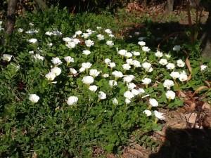 庭園の花⑧