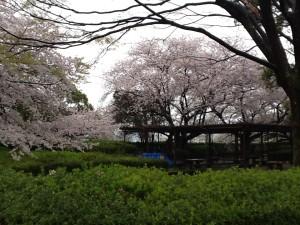 花見ツアー・桜②